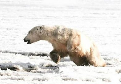 खाने की खोज में ध्रुवीय भालू अपने मूल स्थान से भटककर 700 किमी दूर निकल गया