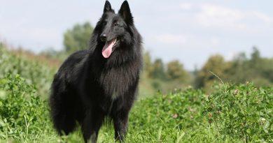 Belgian Shepherd / Sheepdog